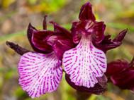 Im Frühling kann man auch tolle Makrofotos von Orchideen machen! (c) Tobias Schorr