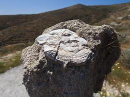 Fossile Auster. (c) Tobias Schorr, April 2017