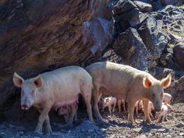 Zwei Mutterschweine und ihre Ferkel auf Palea Kameni, (c) Tobias Schorr, April 2017