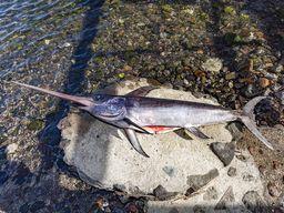 Ein bei Santorin gefangener Schwertfisch.