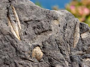 Versteinerte Olivenblätter aus dem Steinbruch von Thirá. (c) Tobias Schorr